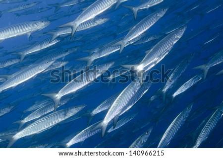 School of barracuda - stock photo