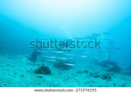 School of Barracuda fish in blue water - stock photo