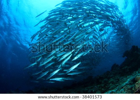 School of Barracuda swimming in the blue. - stock photo