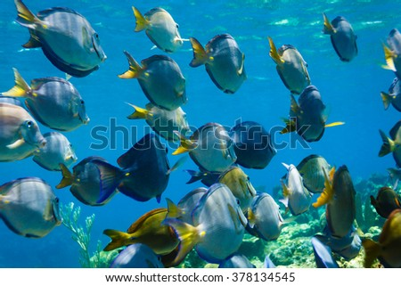 school of Blue tang acanthurus coeruleus fish swimming on coral reef