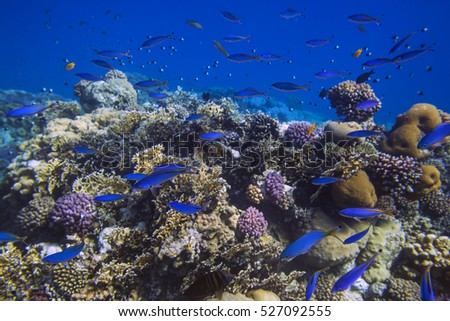 School of bright blue fishes over sunlit coral reef in the Red Sea, Marsa Alam, Egypt