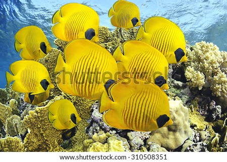 School of butterfly fishes over healthy reefs of Red Sea - stock photo