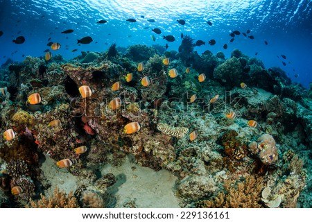 School of Butterflyfish and other tropical fish on a coral reef - stock photo