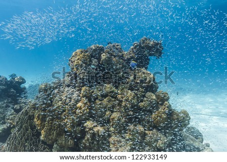 School of cardinalfish at Similan national park - stock photo