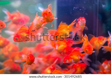 School of colorful gold fishes