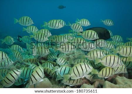 School of convict tang underwater - stock photo