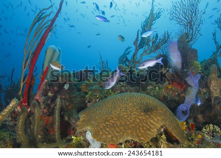 School of Creole Wrasse (Clepticus parrae) Over a Tropical Coral Reef - Roatan, Honduras - stock photo