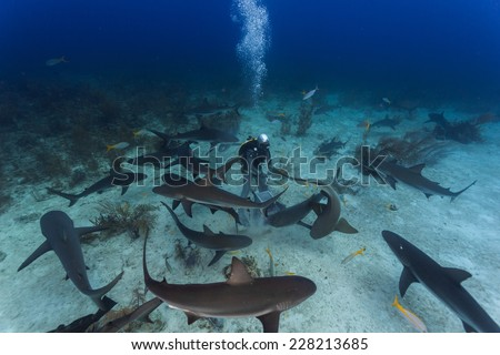 School of curious reef shark circling around a diver for food in the caribbean - stock photo