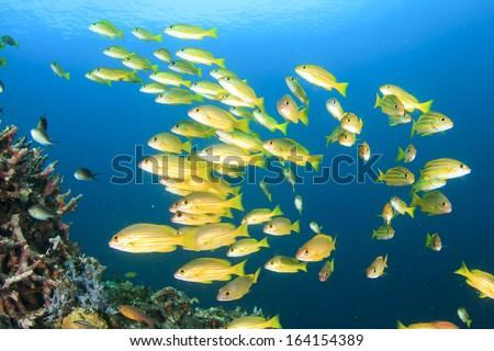 School of Fish: Bluestripe Snappers - stock photo