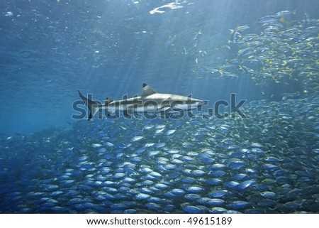 school of fish fleeing from a blacktip reef shark. There are sunbeams shining through the water and a second shark in the background. The foreground shark has a slender suckerfish, or remora attached. - stock photo