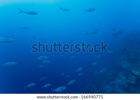 School of fish swims on the coral reef in bright blue waters of Caribbean off coast of Belize - stock photo
