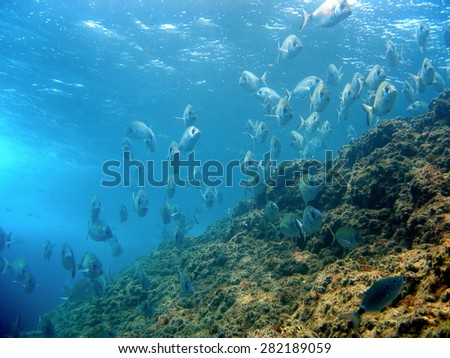 School of fish white seabream with water surface and rock in background, Medes islands, Mediterranean sea, Costa Brava, Catalonia, Spain