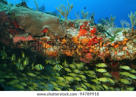 School of French Grunts (Haemulon flavolineatum) Under a Coral Ledge - Cozumel, Mexico - stock photo