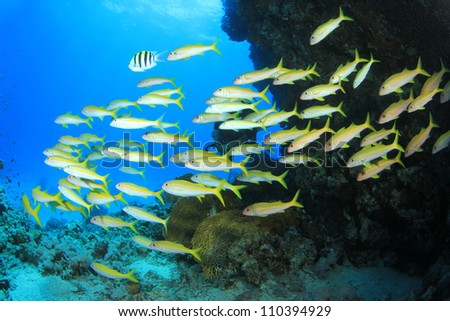 School of Goatfish in front of scuba diver - stock photo