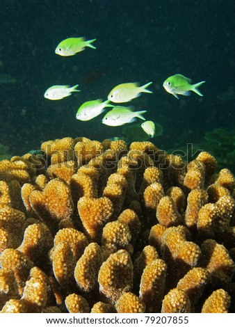 School of Green Chromis in the coral reef - stock photo