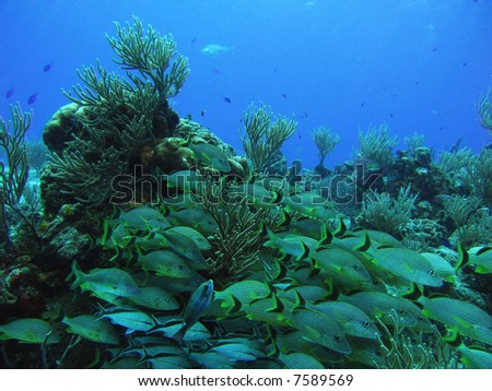 School of Grunts and Cottonwicks over a reef in the Caribbean Sea off Cozumel - stock photo