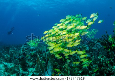 School of grunts and snapper from the coral reefs of the mesoamerican barrier. Mayan Riviera, Mexican Caribbean. - stock photo