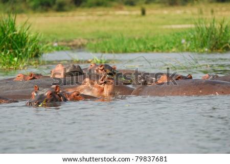 School of hippo in the Nile Victoria river, Uganda - stock photo
