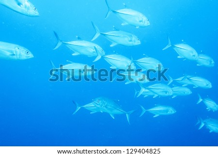 school of jack fish - stock photo