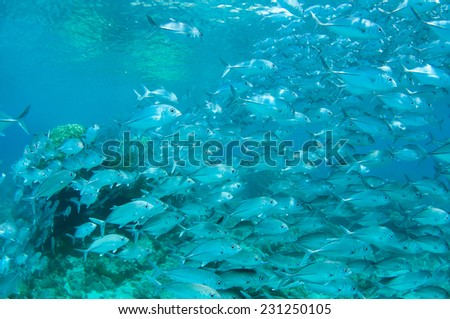 School of jack fish in Dimakya island, Palawan.