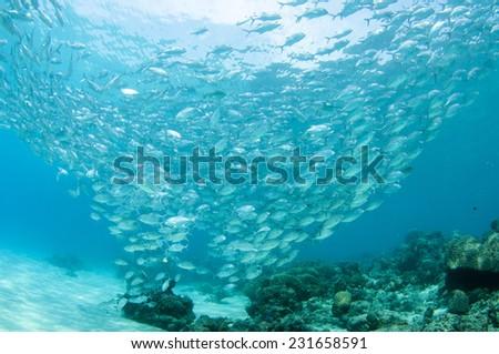 School of jack fish in Dimakya island, Palawan. - stock photo