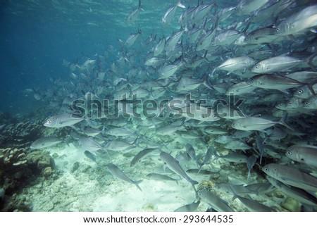 school of jack fish in Sipadan island, sabah, Malaysia - stock photo