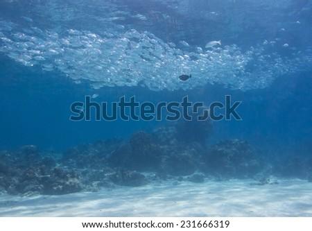 School of jack fish pass through coral reef in Dimakya Island, Palawan. - stock photo