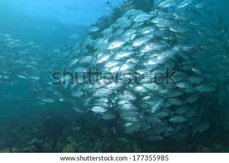 School of jack fish with coral.  - stock photo