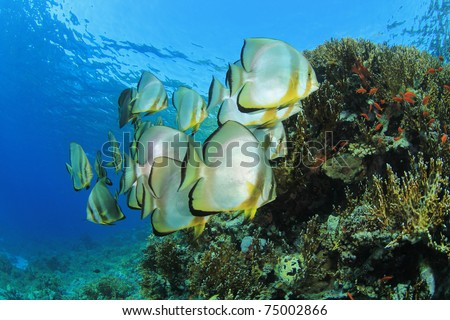 School of Longfin Spadefish (Batfish) (Platax teira) at Yolanda Reef, Ras Mohamed National Park, in the Egyptian Red Sea - stock photo