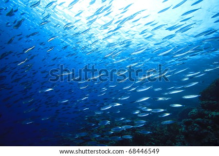 School of Mackerel Fish on coral reef - stock photo