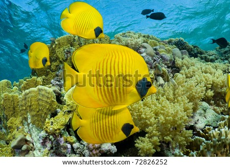 School of masked butterflyfish - a series of UNDERWATER IMAGES. - stock photo