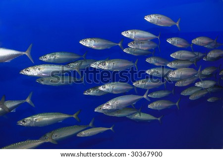 School of Pacific Mackerel (Scomber japonicus) swimming with blue background. - stock photo