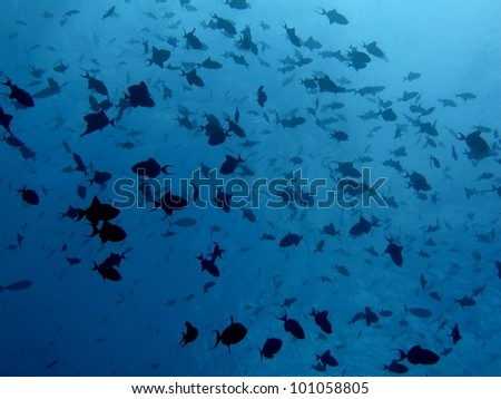 School of red tooth trigger fish