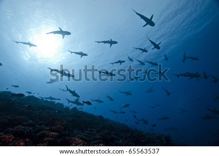 School of reef grey shark Carcharhinus Amblyrhinchos in deep blue of pacific ocean - stock photo