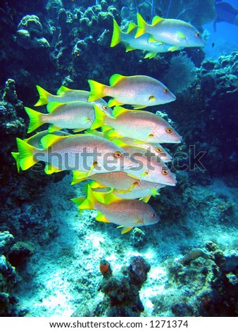 School of Schoolmasters feeding in the current off Grand Cayman Island - stock photo