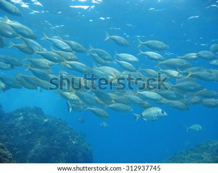 School of sea bream fish, Salema porgy, Mediterranean sea, Azure coast, Var, France - stock photo