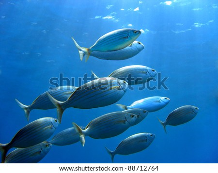 School of sea bream fish, Sarpa salpa, swimming to water surface, Mediterranean sea, Corsica, France - stock photo
