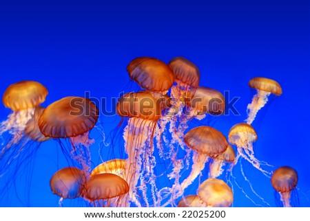 School of sea nettle jellyfish - Chrysaora fuscescens on blue background - stock photo