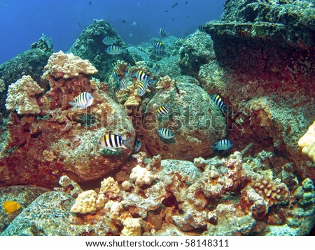 School of Sergeant Major Fish on a colorful Kona Reef - stock photo