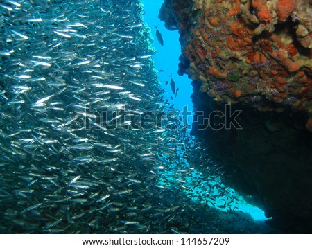 school of siverside herrings from the caribbean reefs. - stock photo