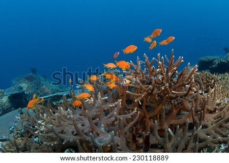 School of small anthias above the coral