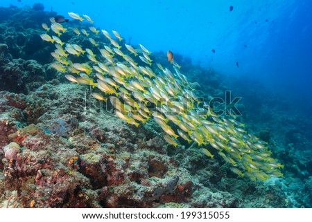 School of snapper on a coral reef