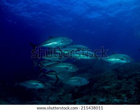 School of the fish in deep water. Komodo, Indonesia. - stock photo