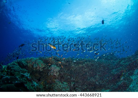 School of the small fished above the Indonesian reefs of Nusa Penida. Schooling fish in shallow water.