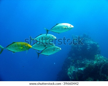 School of trevally fish - stock photo