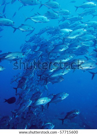school of trevally in blue ocean - stock photo