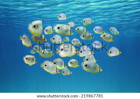 School of tropical fish, Four-eyed Butterflyfish under water surface, Caribbean sea - stock photo