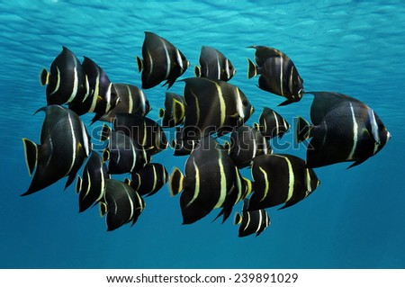 School of tropical fish, French angelfish, under water surface, Caribbean sea - stock photo