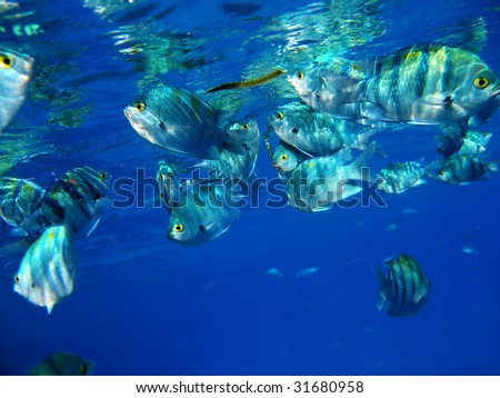 School of tropical fishes eating mangrove leafs. Indo-Pacific sergeants (damselfishes, Abudefduf vaigiensis) - stock photo