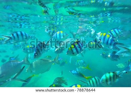School of tropical fishes.Indo-Pacific sergeants (damselfishes, Abudefduf vaigiensis) - stock photo